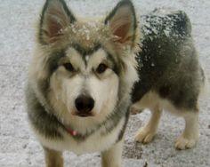 Snow Puppy...Alaskan Malmute