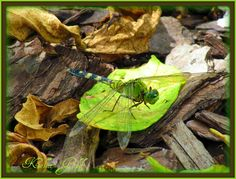 Green Dragonfly.  Kellie Gold Photography