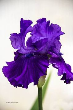 Purple Iris by Sam Sherman in WyomingSpring on Photography By Sherman's Store Types Of Purple Flowers, Purple Iris, Purple Love, Iris Flowers, Beautiful Gardens, Beautiful Flowers, Iris Art, Royal Colors, Purple Themes
