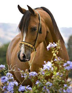 Quail Ridge Arabians :: Arabian Horses, Stallions, Farms, Arabians, Horses For Sale - Arabian Horse Network Most Beautiful Animals, Beautiful Horses, Beautiful Creatures, Farm Animals, Animals And Pets, Cute Animals, Cute Horses, Horse Love, Horse Photos