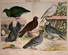 Pigeons, Natural History of the Animal Kingdom for the Use of Young People, Kirby & Schubert, 1889.