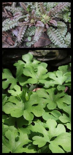 Fall is a great time to propagate woodland perennial herbs and edibles in forest gardens. Here is an article on the basic propagation techniques for native medicinals, but the same methods are used for most woodland trees, shrubs and perennial herbs.