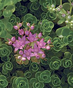 Creeping sedum. Hardy perennial. I have a ton of this. It's lovely little stuff, naturalizes well and quickly covers ground without overwhelming other plants. Comes back year after year without dying out in the center like other groundcovers. In dry times the foliage turns a lovely maroon purple, and the flowers are purple as well, and have a long blooming season.