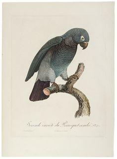 BARRABAND, Jacques (1767/8-1809) [African Grey] Seconde variété du Perroquet cendré (Psittacus erithacus)
