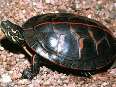 Southern Painted Turtle.