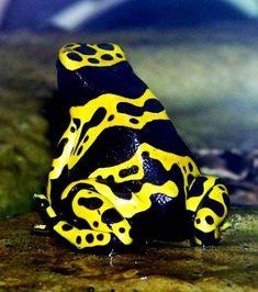 Grenouille Bleue Venimeuse 238 meilleures images du tableau grenouille | frogs, animal pics et