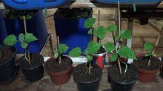 Horta Caseira - Como Fazer Mudas de Pepino