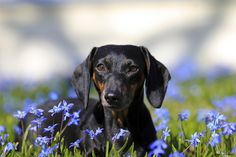 Oh spring! doxie