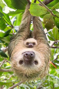 February 20,2017- mom sloth and baby sloth