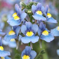 Aromatica Sky Blue