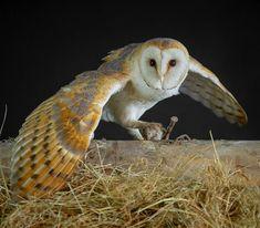 Owls, Animals, Steel, Nature, Animales, Animaux, Owl, Animal, Animais