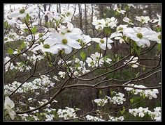 White flowering Dogwood. April blooms. Fall color.