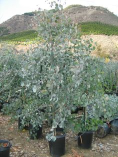 Silver Dollar Eucalyptus polyanthemos Popular variety grows rapidly to 30 feet or more Foliage excellent in cut arrangements Widely used as dry landscape accent or street tree Full sun good drainage and deep… Natural Playground, Backyard Playground, Playground Ideas, Small Front Yard Landscaping, Backyard Landscaping, Landscaping Ideas, Backyard Ideas, Eucalyptus Plant Indoor, Eucalyptus Tree