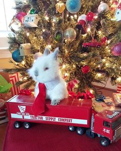 Sugar wanted to show everyone is new red tie he received for Christmas and to say He isn't ready to take the tree down yet!  Playing along with #mymerrymonday. Want to play along,  @belleberrycabin, @ddscottageanddesign? . . . . #toocute #funfurtheholidays #furryfriends #bunniesoftheworld #bunnytalk #rabbitsofinstagram #mydecormonday @myautumnfarmhouse