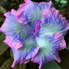 Purple Hibiscus, Hibiscus Plant, Hibiscus Flowers, Tropical Flowers, Fresh Flowers, Pink Purple, Pink Brown, Cactus Flower, Summer Flowers