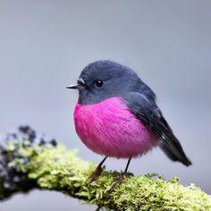 Amazing Animals, Cute Animals, Animal Photography, Nature Photography, Travel Photography, Robin Bird, Australian Birds, Mundo Animal, Bird Pictures
