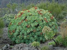 Euphorbia atropurpurea is a shrub that can reach up to 6.6 feet (2 m), with succulent brown stems and branches without spines...