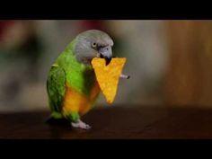 Kili Senegal Parrot - Funny Parrot Doritos Commercial