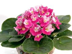 African Violets make a perfect gift for any occasion. Learn how to grow at https://www.houseplant411.com/houseplant/african-violet-grow-care