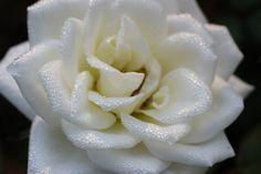Rose One Morning