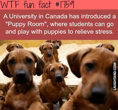 A university in Canada has introduced a Puppy Room #funfacts #lol #funny, #haha, #funnypics, #laughtard