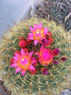 Neoporteria nigrihorrida Cacti And Succulents, Planting Succulents, Desert Plants, Cactus Flower, Fungi, Flora, Arizona, Decorating, Fashion