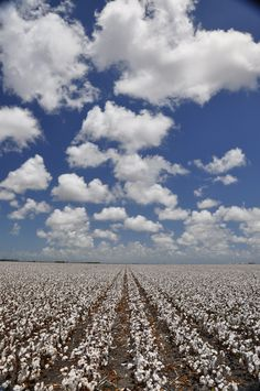 Cotton field an hour before harvest time
