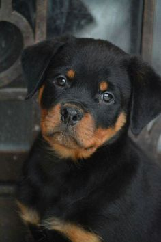 Explore our internet site for additional information on rotty. It is actually an exceptional area to find out more. Cute Little Puppies, Cute Dogs And Puppies, Baby Dogs, Pet Dogs, Dog Cat, Pets, Doggies, Chihuahua Dogs, Rottweiler Dog Puppy