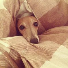 ❄️ Italian Greyhound