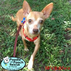 Wiggles is a 4-year-old, 10-pound Chihuahua girl.  Poodle and Pooch Rescue - Adoptable Dogs - www.pprfl.org