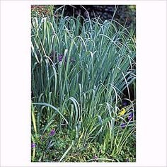 Common Ornamental Grasses Guide to common names of ornamental grasses like dwarf silver blue panic grass panicum virgatum drought resistant ornamental grasses this old house mobile workwithnaturefo