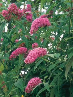 Butterfly Bush comes in a variety of colors and sizes to fit the needs of most gardeners. Dwarf varieties can even be grown in containers.