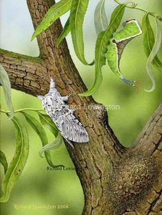 Puss Moth - Richard Lewington Wildlife Art, Moth, Bugs, Creepy, Butterflies, Insects, Beetles, Butterfly, Caterpillar