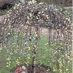 The Dwarf Weeping Kilmarnock Willow Tree is a pretty umbrella headed weeping tree with velvet silvery catkins studded with golden antlers in late winter and early spring. The leaves are green with grey beneath and the branches weep down to the ground in. Fully hardy liking sun they are ideal for a small garden or container.