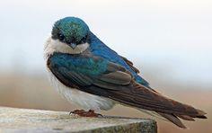 fat-birds:    Tree Swallow by Krystyna* on Flickr.