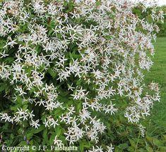 Gillenia trifoliata, enkeliperhoangervo