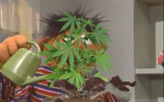 Ernie teaching you how to water your bud plants