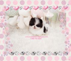 Adorable Lil Miss Jazzy ~ Gorgeous Micro Teacup Party Black/White Pom Available!