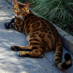 Fantastic Free Bengal Cats care Concepts Initial, when it comes to what is really a Bengal cat. Bengal kitties undoubtedly are a pedigree breed of dog . Pretty Cats, Beautiful Cats, Animals Beautiful, Cute Animals, Kittens Cutest, Cats And Kittens, Cats Meowing, Bengal Kitten, Siamese Cat