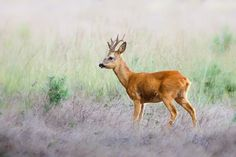 Photograph Roe deer by Pim Leijen on 500px