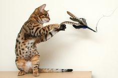 Are My Cats Playing or Fighting   14 Most Playful Cat Breeds To Own