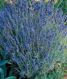 Lavender     lifecycle: Perennial     Zone: 6-10     Sun: Full Sun     Height: 16  inches    Spread: 16  inches    Uses: Beds, Borders, Container, Dried Flowers     Sowing Method: Indoor Sow     Bloom Season: Spring, Summer