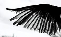Concept Images - black wing
