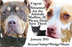 January 2015 Animals To Rescue in MULLINS, SC`` URGENT TEMP. Pinterest BOARD *For the Animals Needing Rescue in Mullins, SC* due to Upheaval at Facility January 2015 ~ Out Of State Adoptions & Rescues WELCOME! ** SC-Paws to the Rescue has been removed as shelter operator, effective immediately, leaving over a hundred dogs--and cats--at risk! PLEASE HELP** They're Training Inmates to Care for the Animals https://www.facebook.com/PawsToTheRescueAtMarionCountyAnimalShelter?fref=photo