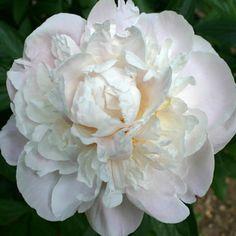 Paeonia Lactiflora 'Gardenia' , Peony 'Gardenia'', 'Gardenia' Peony, Chinese Peony 'Gardenia'', Common Garden Peony 'Gardenia'', White Peonies, White flowers, Fragrant Peonies