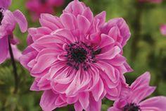 Anemone Devotion Pink