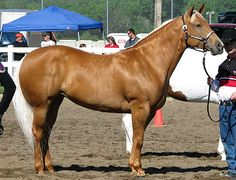 Palomino Horse. Red (ee) + 1 Cream (C,Ccr). Palomino comes in many different shades -Nix Alba