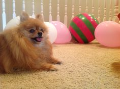 """The Pomeranian's Play """"Dress Up"""" 