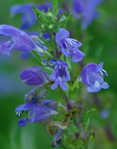 """The minty-lemony leaves and large purple flowers have long been used in a tea for reputed herbal benefits, including """"lightening a discouraged heart."""" Beloved by bees, like all the mint tribe.  All the seeds are non-hybrid, non-GMO, non-treated and non-patented from non Monsanto-owned farms."""