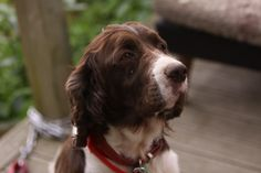 Chelsea my beautiful  Springer who went to the Rainbow Bridge last month - the loyalist dog I have had the pleasure to live with - bless